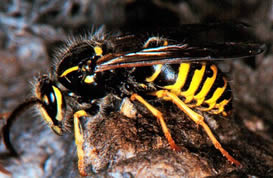 aerial yellowjacket worker