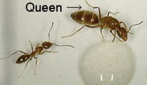 Argentine ant worker and queen