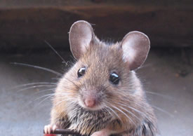 Close up of face of house mouse