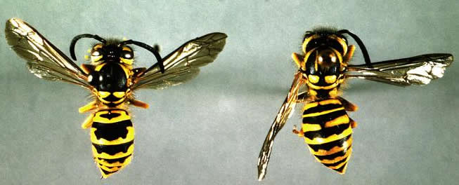 pair of yellowjackets