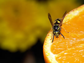 yellowjacket on orange